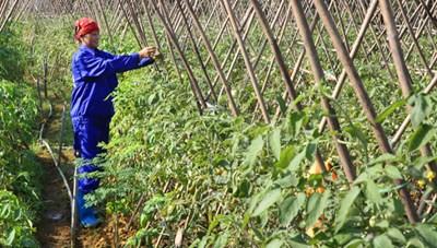 Thu nhập 'đáng mơ' của nông dân Thạch Thất