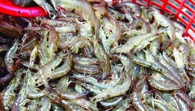 Long An: Phạt 44 trường hợp nuôi tôm thẻ chân trắng trong vùng nước ngọt