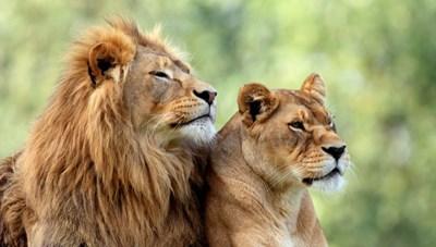 Một con sư tử cái nghi mắc Covid-19 tử vong trong vườn thú ở Ấn Độ