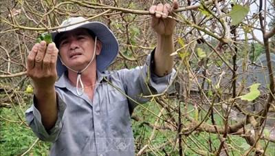 Bình Phước: Bọ cánh cứng ăn trụi lá vườn cây