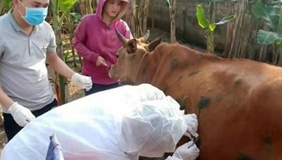 Bệnh viêm da nổi cục trên trâu bò: Kiểm soát dịch bằng cách ly