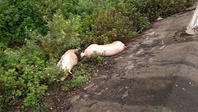 Quảng Nam công bố hết dịch tả lợn Châu Phi