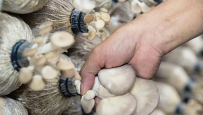 Hiệu quả kinh tế từ trồng nấm