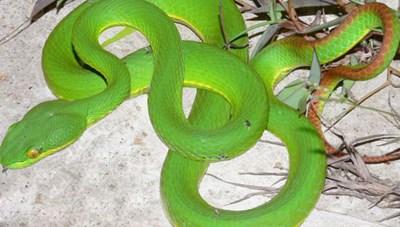 Cẩn thận khi bị rắn cắn