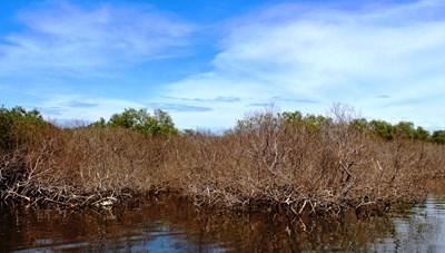 Đau đớn khi rừng ngập mặn chết khô