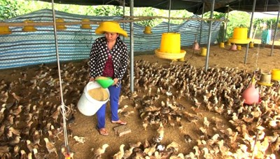Tây Ninh: Giá gà rẻ hơn rau, hàng triệu gà giống bị đốt bỏ