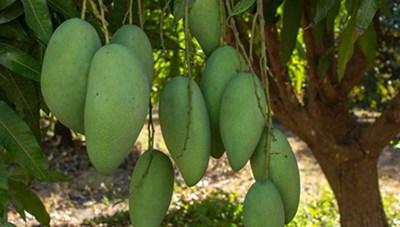Xoài xanh Việt Nam xuất khẩu vào Australia tăng gấp đôi