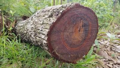 Gia Lai: Yêu cầu điều tra vụ phá rừng ở huyện Chư Prông