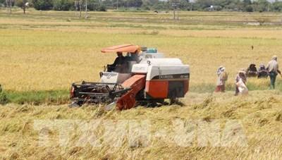 Giá lúa ở Trà Vinh tăng cao