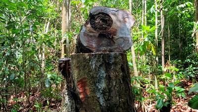 Hàng chục cây dầu rái cổ thụ bị đốn hạ