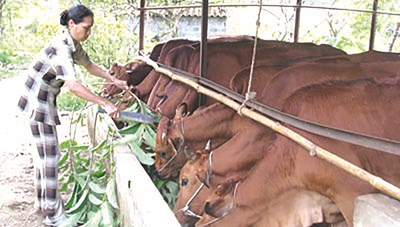Phát triển chăn nuôi đàn bò thịt