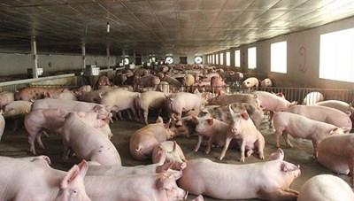 Giá thịt lợn lao dốc: Người nuôi khóc ròng