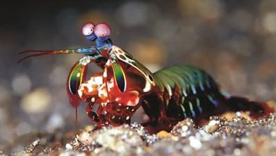 Bất ngờ về sức mạnh của loài tôm bọ ngựa