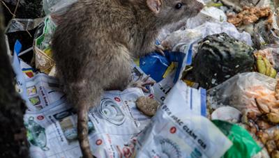 Thành phố nào nhiều chuột cống nhất nước Mỹ?