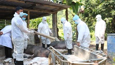 Thanh Hoá ứng phó với dịch tả lợn châu Phi