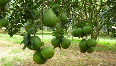 Trái bưởi da xanh ở Bình Phước