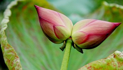 Đóa hoa sen 'sinh đôi' đặc biệt hiếm