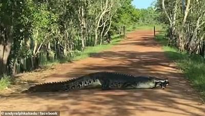 Cá sấu dài gần 4 m 'thản nhiên' băng qua đường