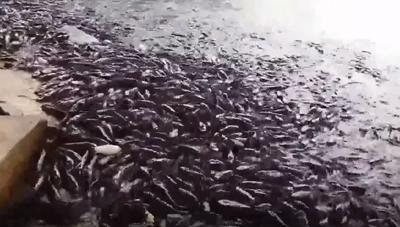 Kinh ngạc đàn cá trê 'khủng' hàng nghìn con nổi kín mặt hồ