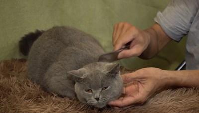 [VIDEO] Nhân giống mèo 'Tây' mỗi năm thu về hàng trăm triệu