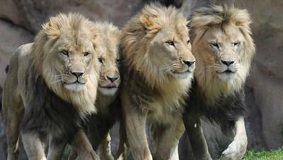 Bang Colorado, Mỹ, 11 con sư tử châu Phi bị nhiễm Covid-19
