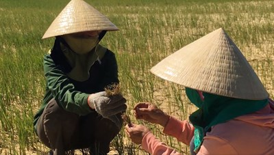 Quảng Trị:  Lúa chết khô vì thiếu nước