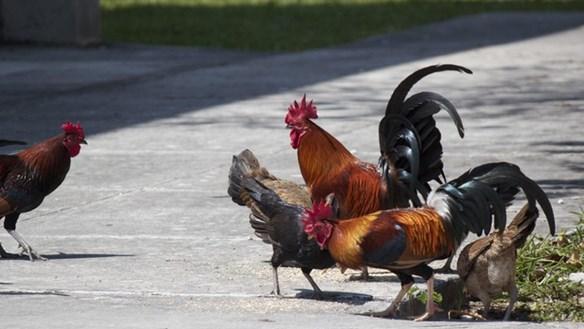 Lạ lùng hòn đảo bị hàng nghìn con gà hoang 'xâm chiếm'