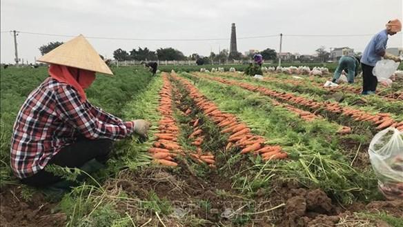 Hải Dương: Chuẩn bị xuất khẩu cà rốt đi Hàn Quốc