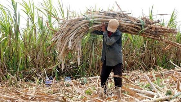 Lao đao ngành mía đường