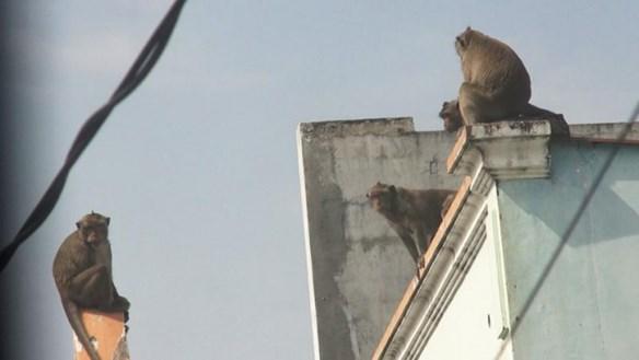 Bắn thuốc mê 5 con khỉ tại khu dân cư quận 12