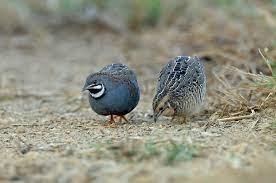 Chim cút - món ăn chữa suy dinh dưỡng, phong thấp