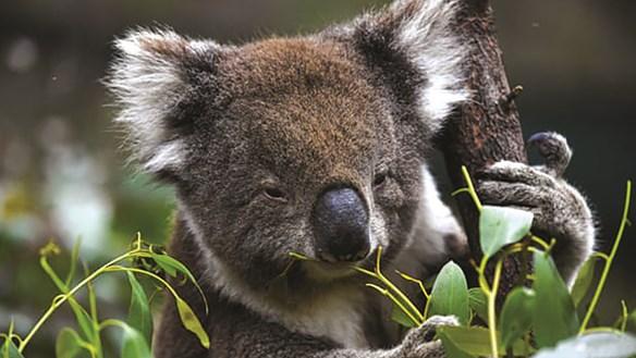 Số Koala ở Australia mất đi 1/3 chỉ trong vòng 3 năm