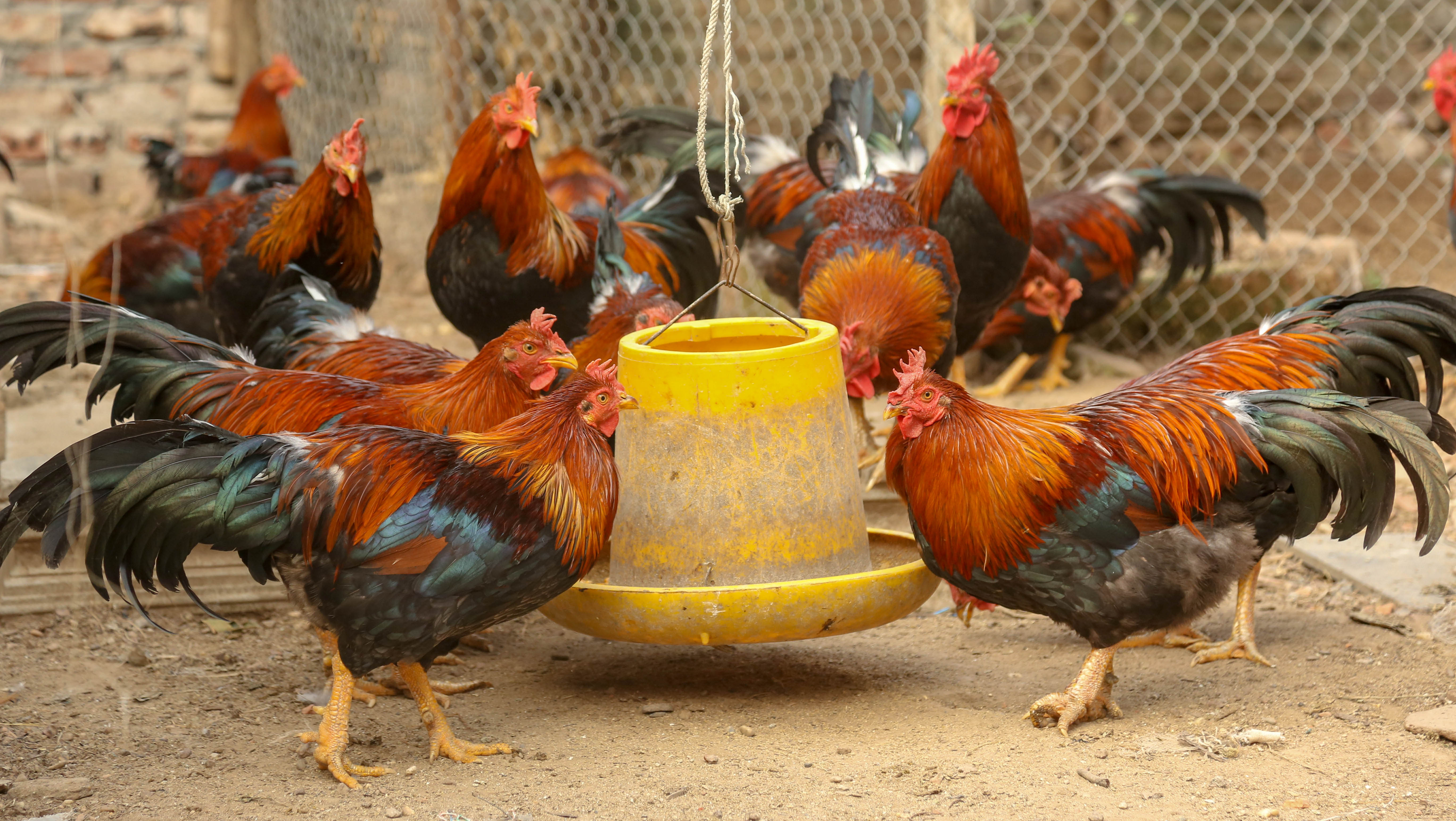 Gà Mía là một giống gà quý đã từ bao đời truyền lại.