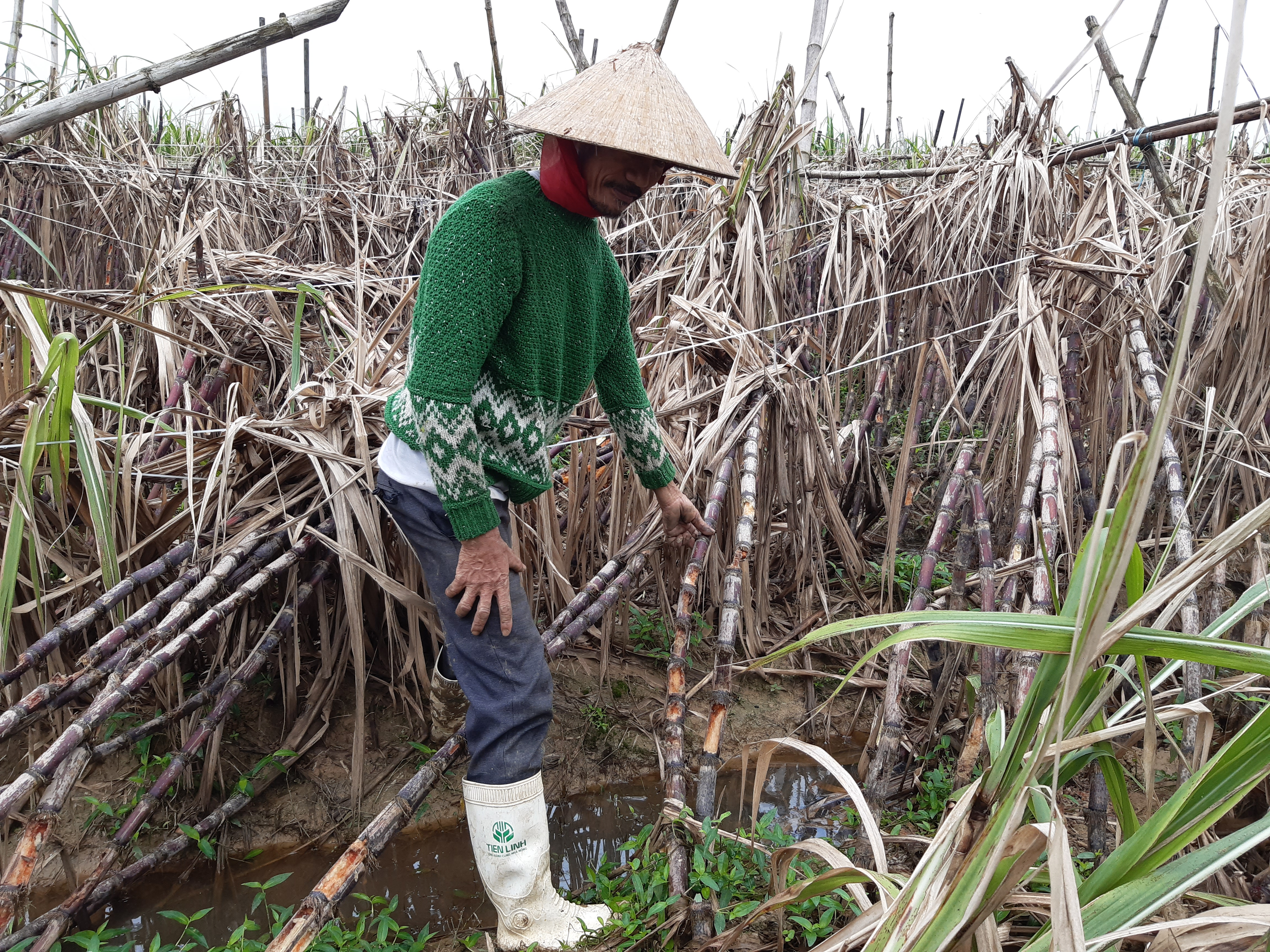 Người dân xã Quảng Phú trên cánh đồng mía.