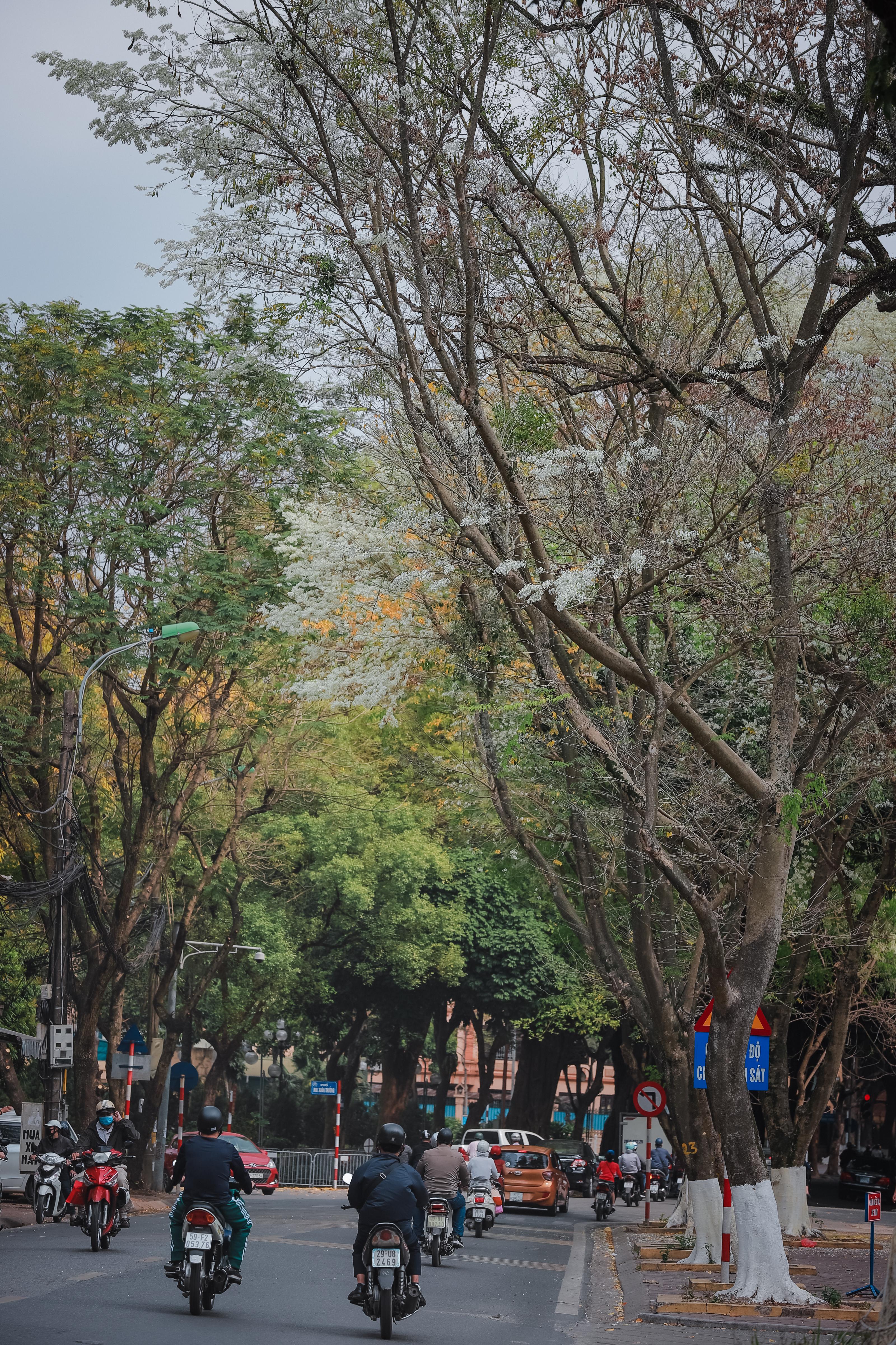 Sưa là một loại cây thân gỗ, là cây ưa sáng, cao, to, tán rộng nên được trồng nhiều ở Thủ đô để làm cảnh quan và lấy bóng mát. Ảnh: Phạm Anh.