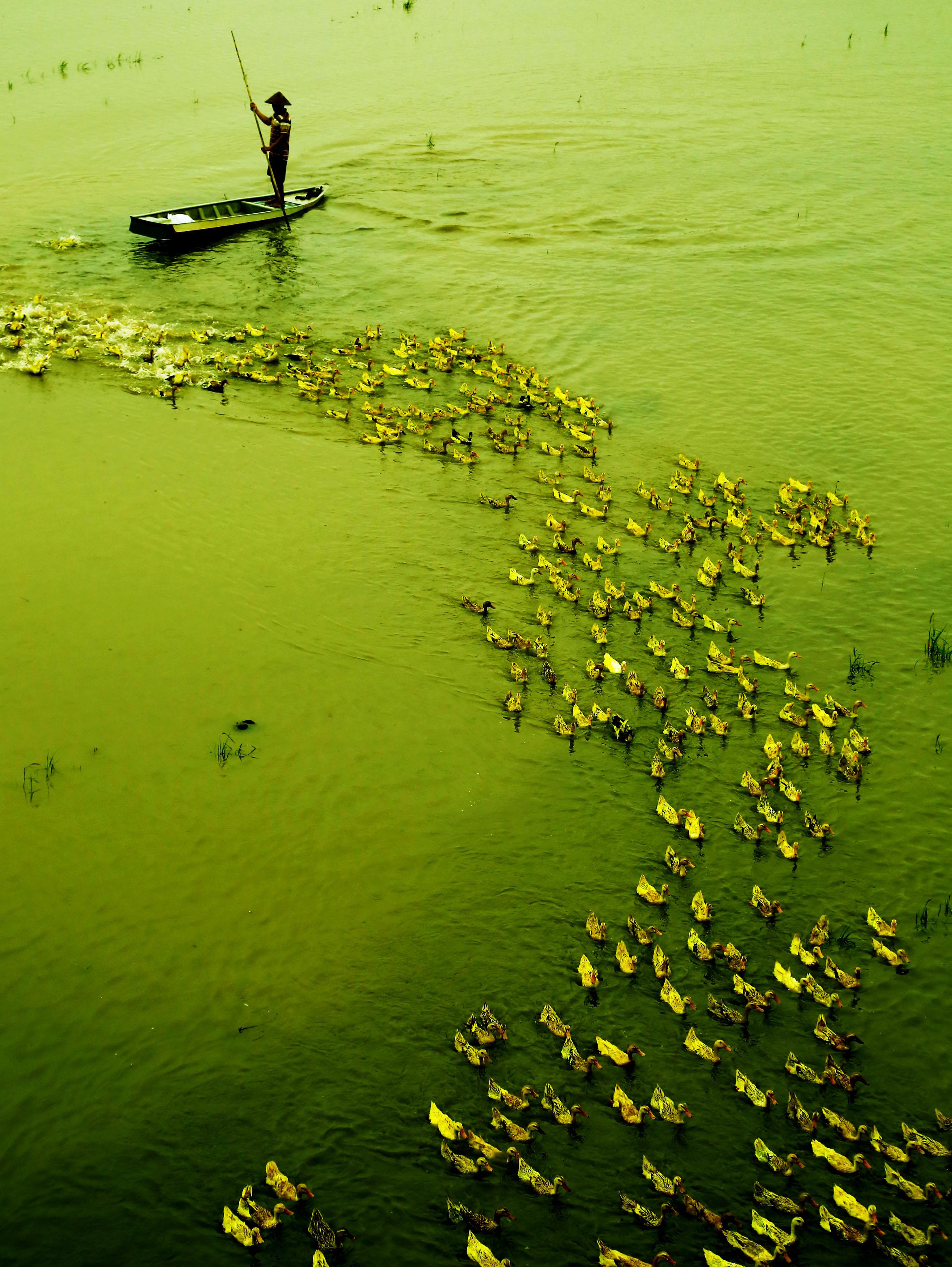 Mùa nước nổi cũng là mùa người dân nuôi vịt chạy đồng.