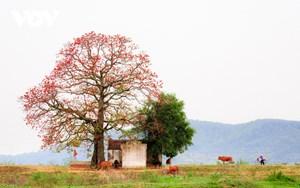 [ẢNH] Tháng ba, hoa gạo khoe sắc thắm bên bờ sông Thương