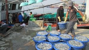 Mùa cá cơm ở Quảng Trị