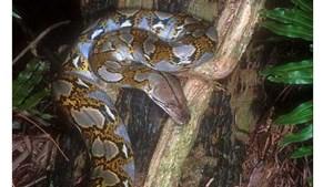 Sự thật và huyền thoại rắn hổ mây khổng lồ ở núi Cô Tô