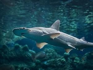 Cá mập sử dụng từ trường của Trái đất làm hệ thống dẫn đường 'GPS'