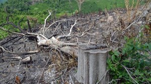 Vụ phá rừng giáp ranh ở Phú Yên: Khởi tố, bắt thêm 5 đối tượng