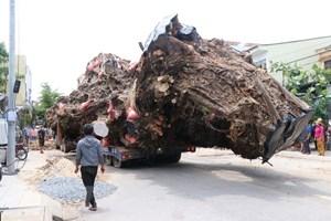 Quảng Ngãi: Di dời cây đa cổ thụ 200 năm bị bật gốc về núi Thiên Bút