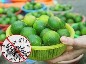 Cách trị muỗi, kiến, gián đầy hữu hiệu và an toàn chỉ bằng 1 quả chanh