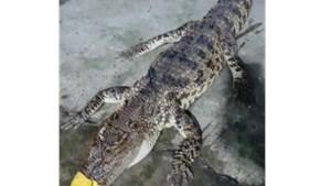 Người dân bắt được cá sấu nặng gần 10 kg 'đi lạc' vào vuông tôm