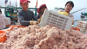 Hà Tĩnh: Ngư dân trúng đậm tép biển
