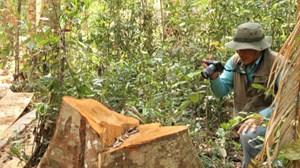 Lâm Đồng: Phát hiện vụ phá rừng bạch tùng