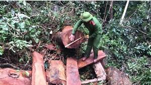 Quảng Bình: Tạm giữ hình sự 5 đối tượng phá rừng