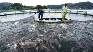 Cá tầm Trung Quốc 'đội lốt' cá tầm Việt tràn ngập thị trường