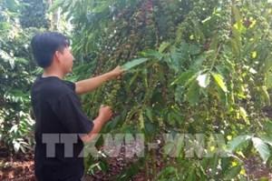 Bà Rịa - Vũng Tàu: Sản lượng giảm, giá giảm, người trồng cà phê gặp khó