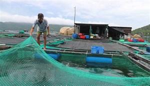 Khánh Hòa: 'Thủ phủ' nuôi tôm hùm di dời gần 40.000 lồng bè tránh bão